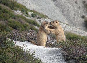 Himalayan marmots greeting. Photo Wikipedia