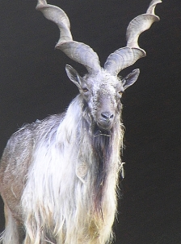 Markhor. Wikipedia photo