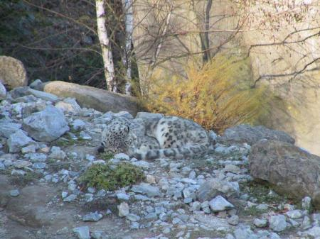 Closeup of snow leopard in rocky exhibit. Pic Monika Fiby