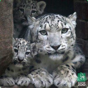 Tashi and Gobi with their mother, Meo. Photo, Melbourne Zoo.