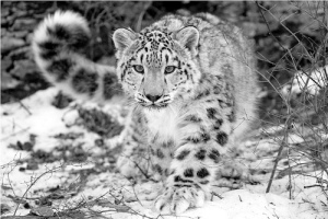 Stephen Oachs photo of a snow leopard in Montana private reserve