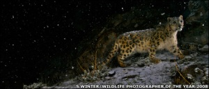 Steve Winter's photograph of a wild snow leopard wins 2008 Wildlife Photographer of the Year 2008