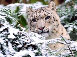 Shelby the snow leopard at Bronz Zoo is camouflaged in the snow.