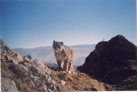 Som Ale's pic. Mustang, Nepal. Camera trap photo.