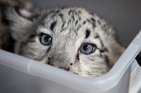 Female cub getting weighed. Photo David Caird. News Ltd.
