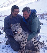 George Schaller with anesthetised snow leopard. Photo G. Schaller.