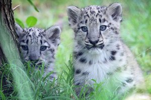 Cubs named today and it's Tashi and Gobi. Pic by HeraldSun