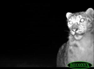 A snow leopard caught by a trip camera recently in Taxkurgan nature reserve, Xinjiang. Photo Xinjiang Snow Leopard Project.