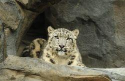 Central Park Zoo snow loepard exhibit. Photo by WCS / Julie Larsen Maher