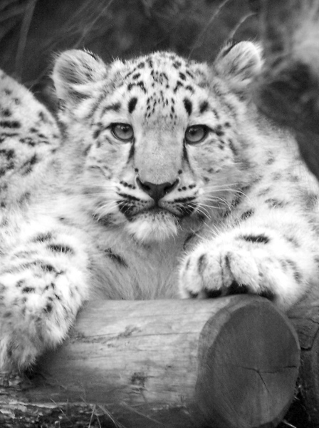 Cub at Melb Zoo. Photo by kind permission from passionate snow leopard sponsor Glenn McColl
