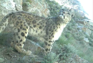 Wild snow leopard in remote Afghanistan. Photo by remote camera trap by WCS.