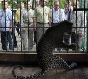 Persian leopard about to be released into a reserve near Sochin, Russia as PM Vladimir Putin looks on. Photo by AP, Alexei Druzhinin.