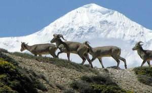 GPS stalking of blue sheep - snow leopard prey.